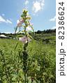 こまの花とゴマの鞘(さや) 82386624