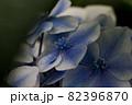 初夏のあじさいの花 千葉県 日本 82396870