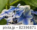 初夏のあじさいの花 千葉県 日本 82396871