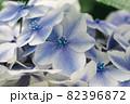 初夏のあじさいの花 千葉県 日本 82396872