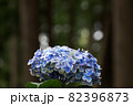初夏のあじさいの花 千葉県 日本 82396873