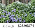初夏のあじさいの花 千葉県 日本 82396874