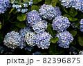 初夏のあじさいの花 千葉県 日本 82396875