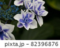 初夏のあじさいの花 千葉県 日本 82396876