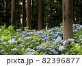 初夏のあじさいの花 千葉県 日本 82396877