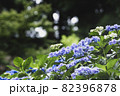 初夏のあじさいの花 千葉県 日本 82396878