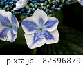 初夏のあじさいの花 千葉県 日本 82396879