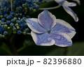 初夏のあじさいの花 千葉県 日本 82396880