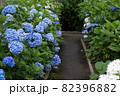 初夏のあじさいの花 千葉県 日本 82396882