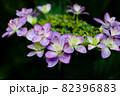 初夏のあじさいの花 千葉県 日本 82396883