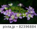 初夏のあじさいの花 千葉県 日本 82396884