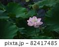 お堀のピンク色の蓮。 82417485