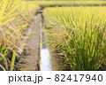 収穫前の水田 82417940