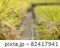 収穫前の水田 82417941