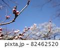 青空に映える梅のつぼみ 82462520