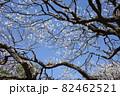 青空に映える白い梅の花 82462521