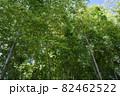 竹林を下から見上げた様子 82462522