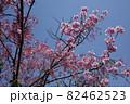 青空に映えるピンク色のヤマザクラの花 82462523