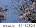 青空に枝を広げる桜 82462524