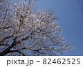 青空に映える桜の木 82462525