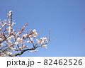 青空に映える白い梅の花 82462526