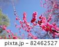 青空に映える赤い梅の花 82462527