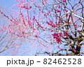 青空に映える赤い梅の花 82462528