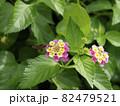 ランタナの蜜を吸うセセリチョウ 82479521