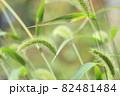 雑草エノコログサ 82481484