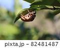 葉の裏のセミの抜け殻 82481487