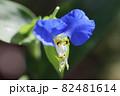 紫露草の花 82481614