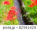 奈良県御所市で撮影した用水路と彼岸花 82561429
