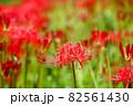 奈良県御所市で撮影した彼岸花 82561430