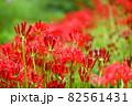 奈良県御所市で撮影した彼岸花 ② 82561431