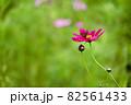 奈良県御所市で撮影したコスモス 82561433