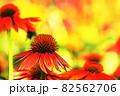 """パステル調 """"エキナセア 花 植物"""" イラストイメージ 82562706"""