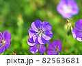 """パステル調 """"フウロソウ 花 植物"""" イラストイメージ 82563681"""