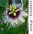 パッションフルーツの花 82606839