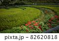 奈良県 稲渕の棚田 彼岸花 82620818