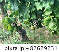 ワイン用ぶどう畑 82629231
