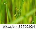 草の中で隠れるようにしてくつろぐバッタ 82702924