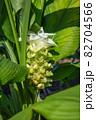 ウコンの花が開花 (ウコン、鬱金、欝金、宇金、学名:Curcuma longa、英名:ターメリック 82704566