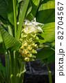 ウコンの花が開花 (ウコン、鬱金、欝金、宇金、学名:Curcuma longa、英名:ターメリック 82704567