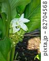 ウコンの花が開花 (ウコン、鬱金、欝金、宇金、学名:Curcuma longa、英名:ターメリック 82704568