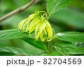 イランイランノキの花が開花(精油原料:イランイラン) 82704569