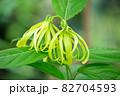 イランイランノキの花が開花(精油原料:イランイラン) 82704593