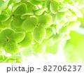 紫陽花アナベルの黄緑色に変化した時のクローズアップ 82706237