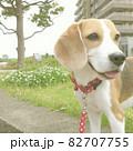 ビーグル犬とシロツメクサ 82707755