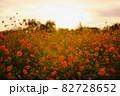 夕日に輝くオレンジ色のコスモス 82728652