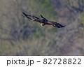 巣材の枝を掴んで飛ぶ繁殖期のイヌワシ 82728822